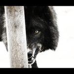 Lobo under my control